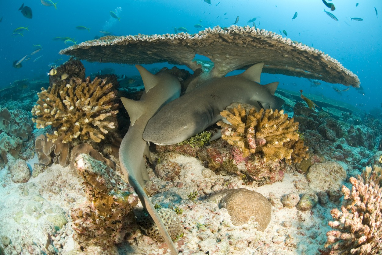 Nurse sharks in a coral reef