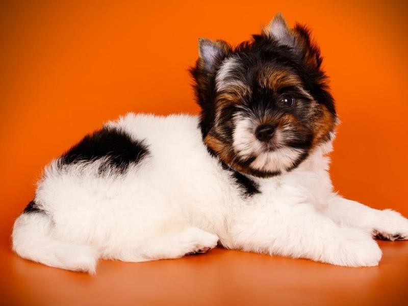 The Biewer Terrier Received AKC Recognition Quickly