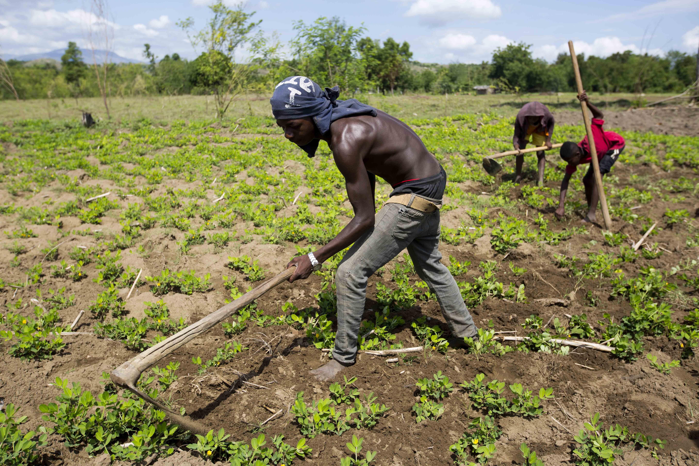 Peanut farming in Haiti