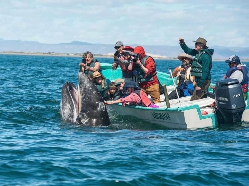 Whale Watching Group San Ignacio, Mexico