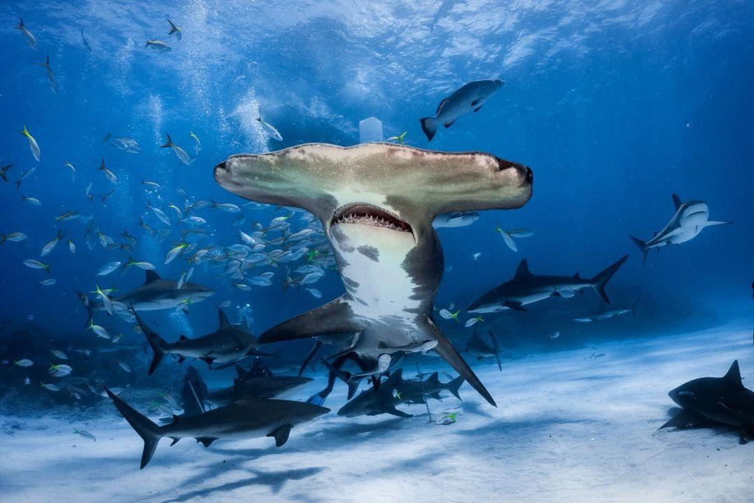 Hammerhead shark swimming with fish