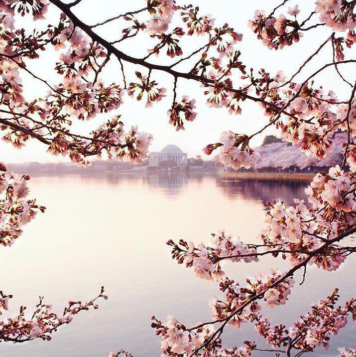 Cherry Blossom Festival in Washington, D.C.