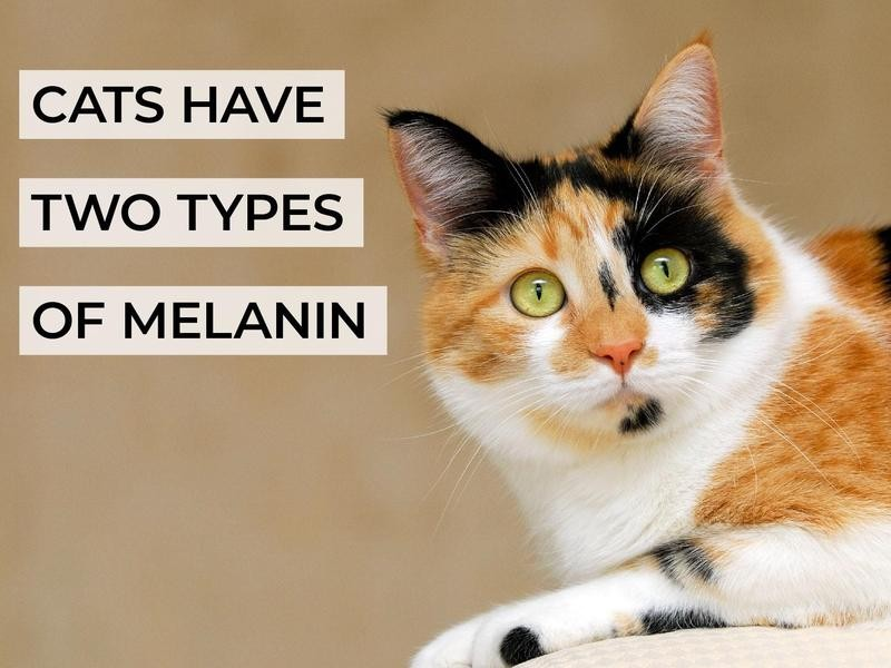 Cats Have Two Types of Melanin