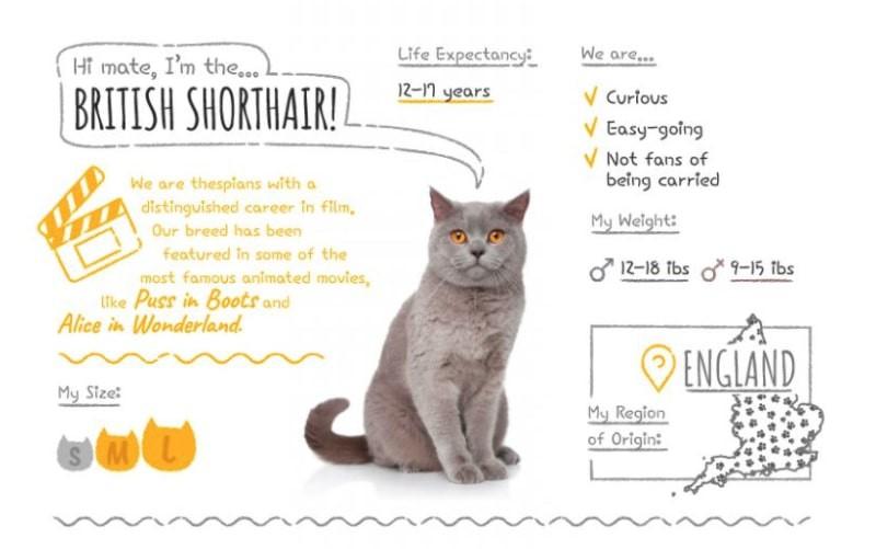 British Shorhair stats