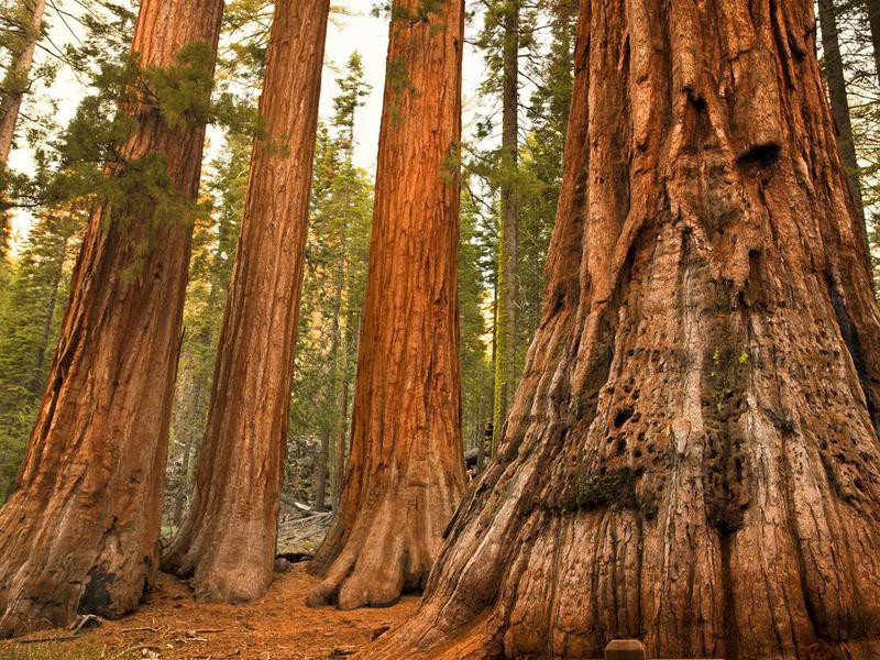 Giant sequoias at Mariposa Grove in Yosemite National Park