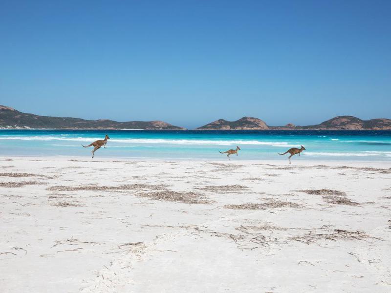 Kangaroos in Lucky Bay, Australia