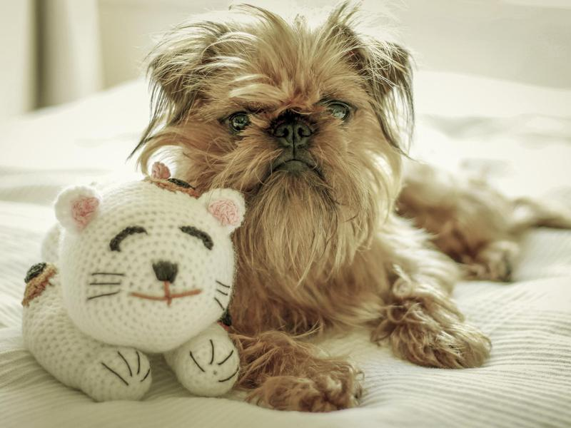 Small dog breed: brussels griffon