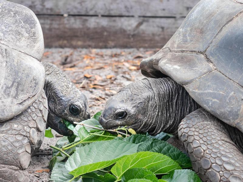 Two tortoises eating