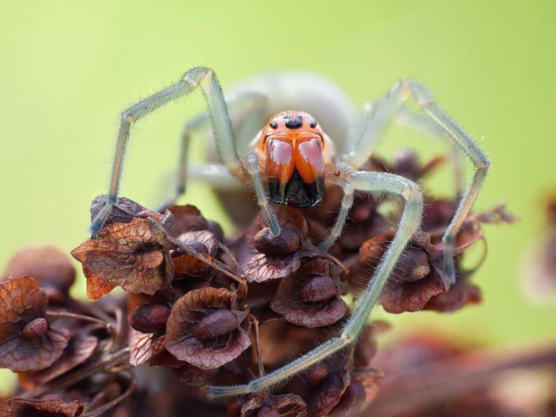 Yellow sac spider in nature