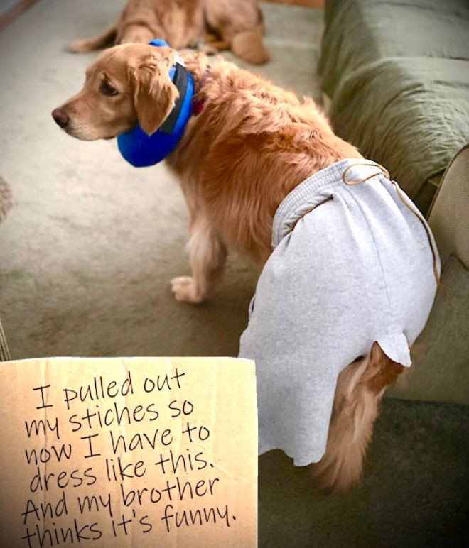 Dog in shorts