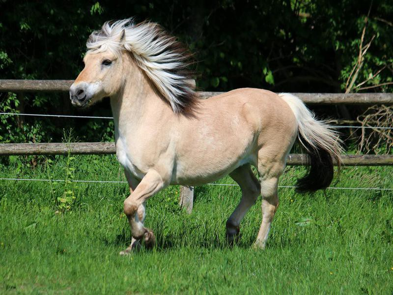 Running fjord horse in the sunshine