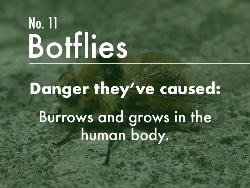 Botfly dangers