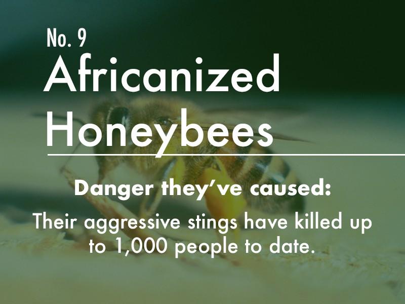 Africanized Honeybee dangers