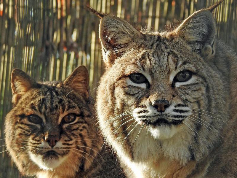 Bobcats in Zoo