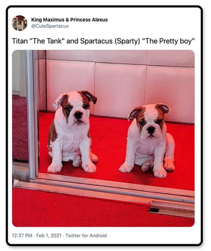 Two bulldog puppies