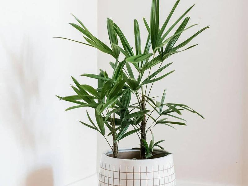 Lady palm plant in a white pot