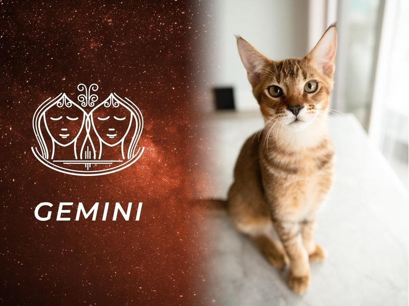 Gemini: Chausie
