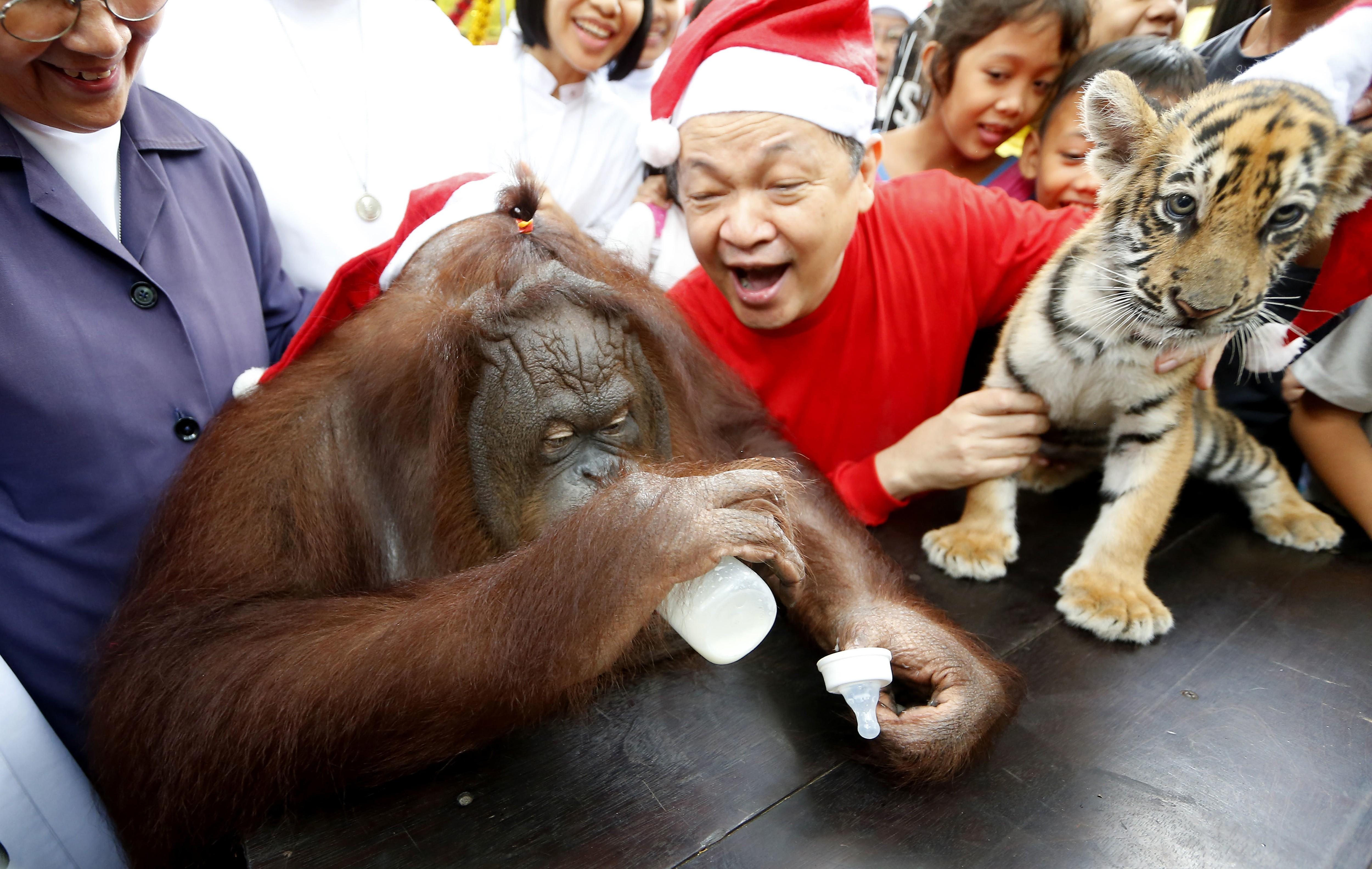 Orangutan and tiger cub