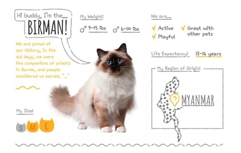 birman emotional support cat