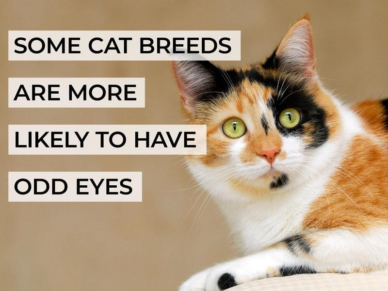 Some Cat Breeds Are More Likely to Have Odd Eyes