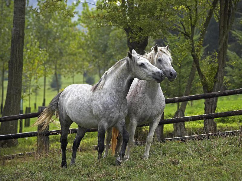 Connemara Pony standing in Paddock