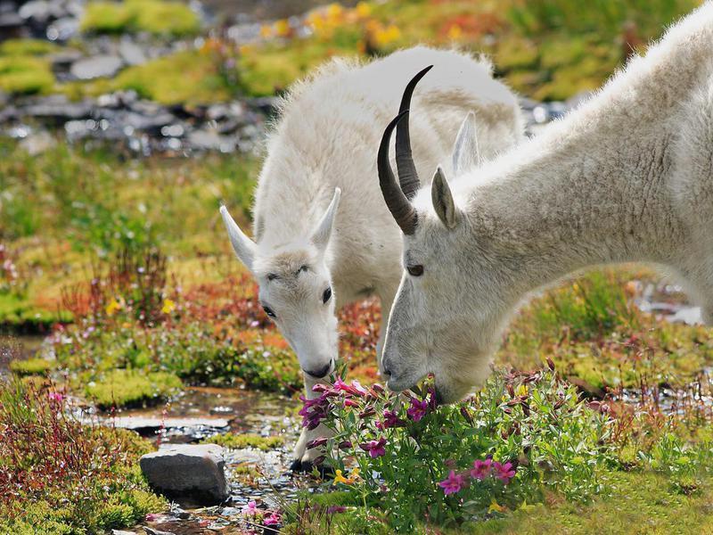 Mountain goats at Glacier National Park