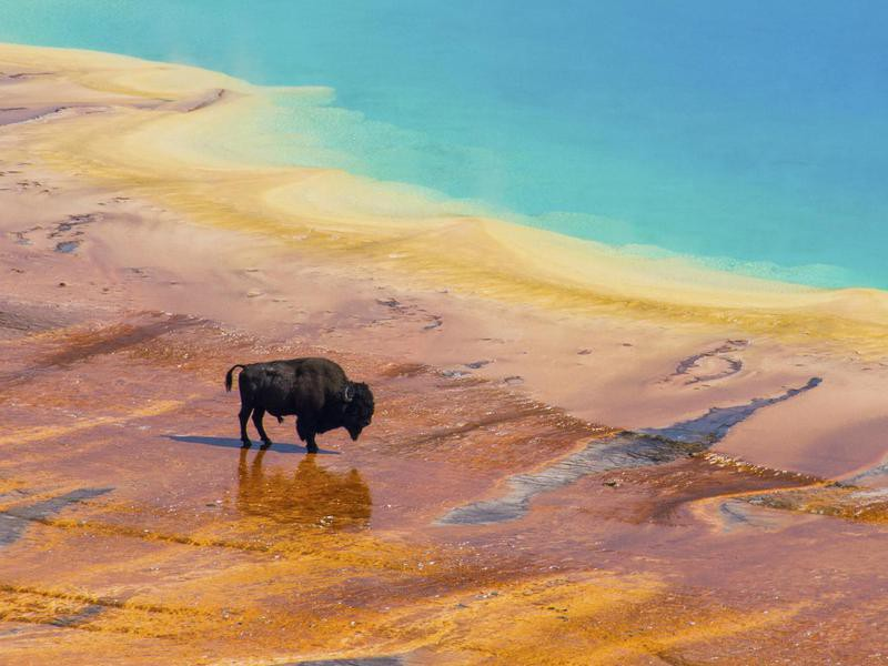 Bison at the Great Prismatic Spring