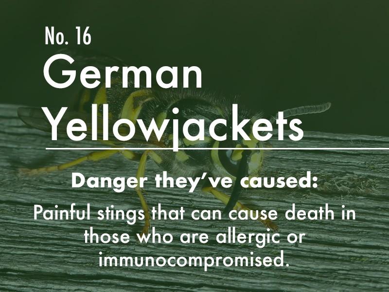 German Yellowjacket dangers