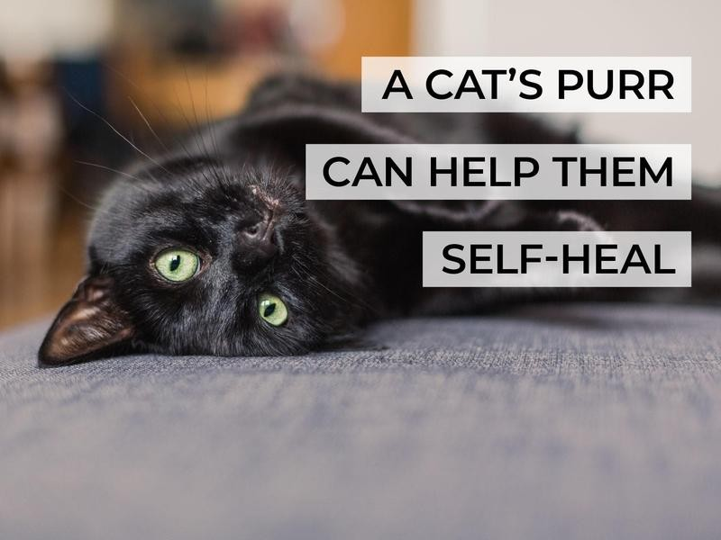 A Cat's Purr Can Help Them Self-Heal