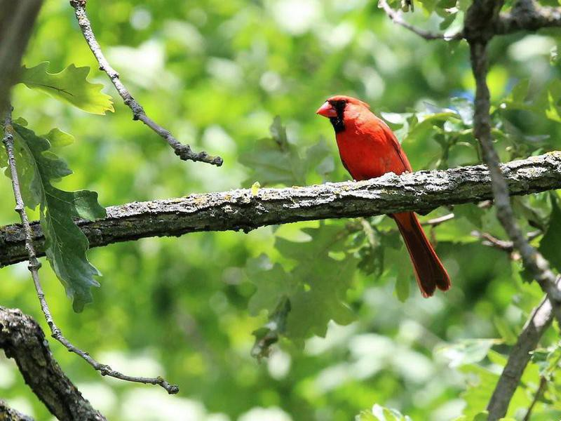 Cardinal at Governor Dodge State Park