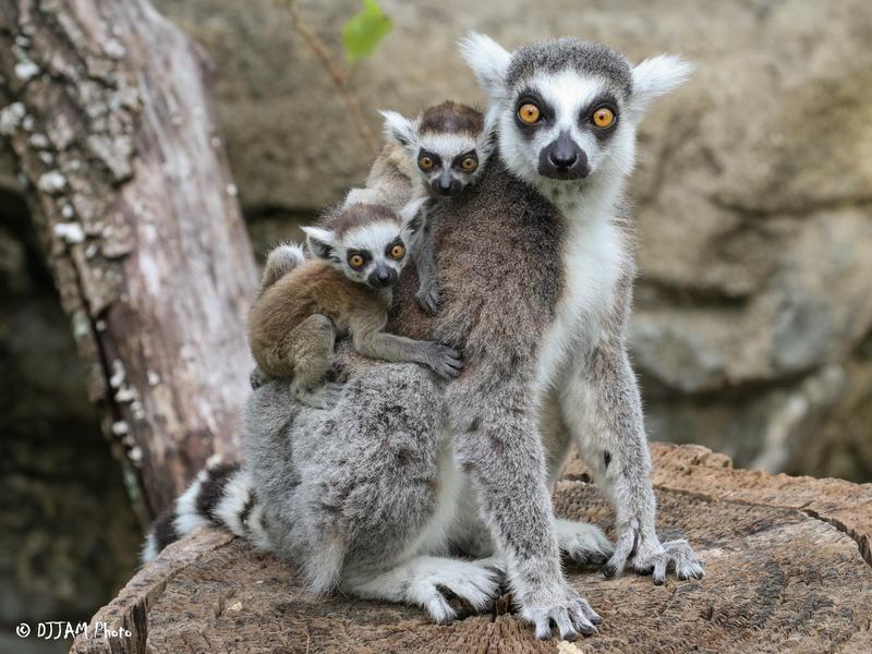 Lemur Lookout