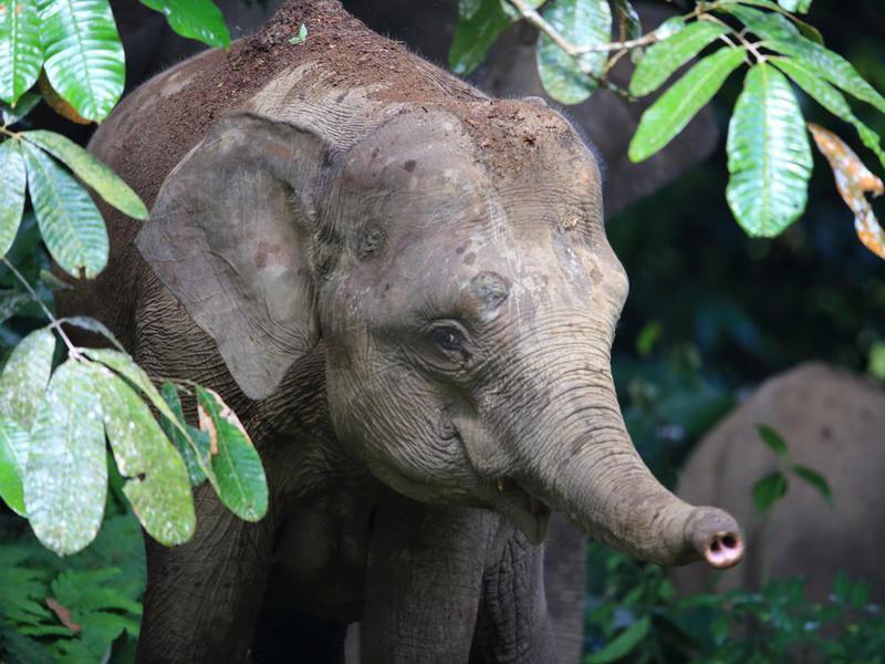 Pigmy elephant in Borneo