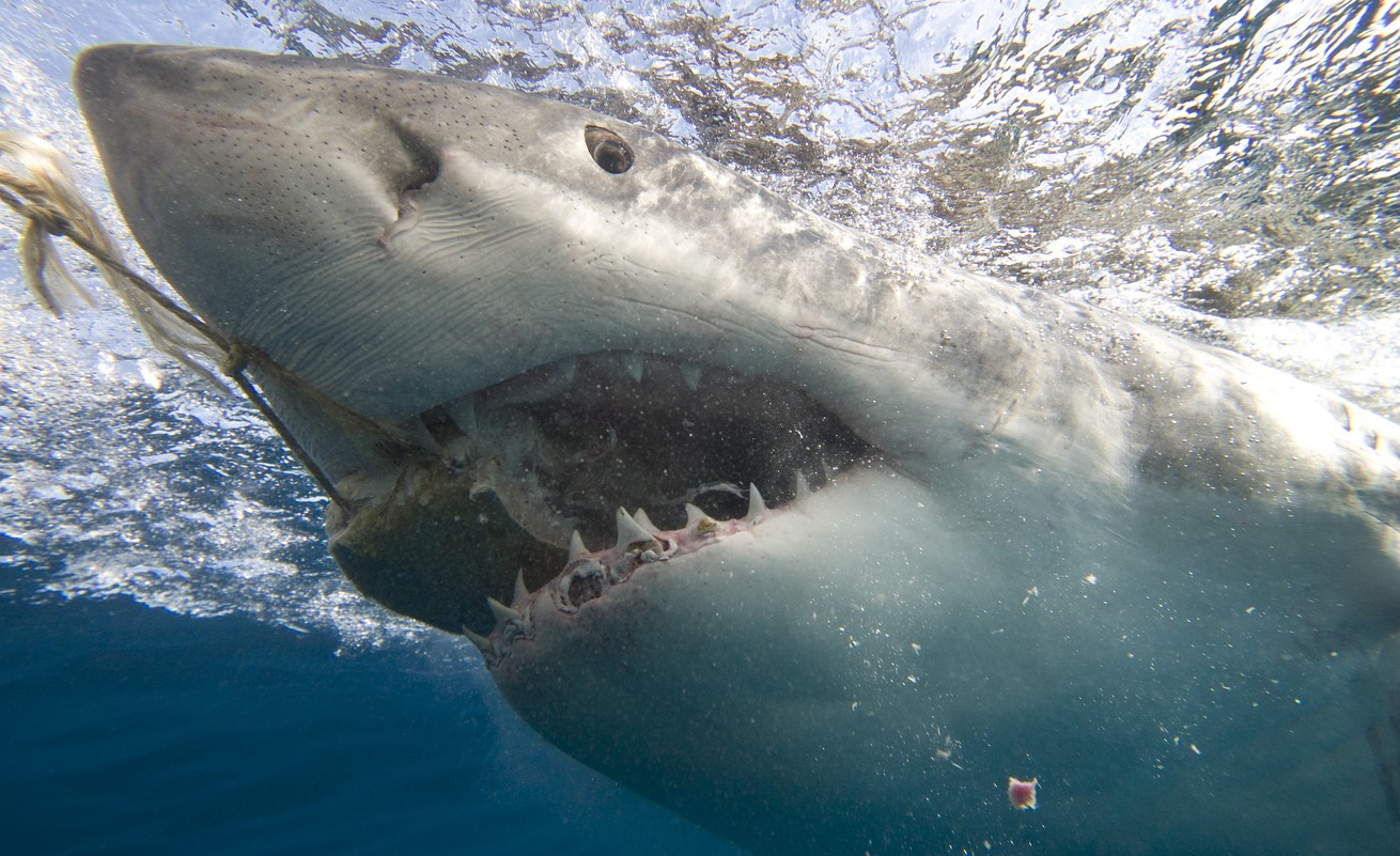A great white shark biting on food held by a rope