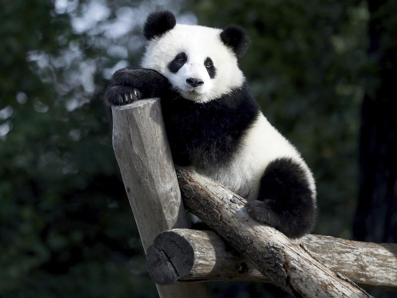 Are panda bears smart?