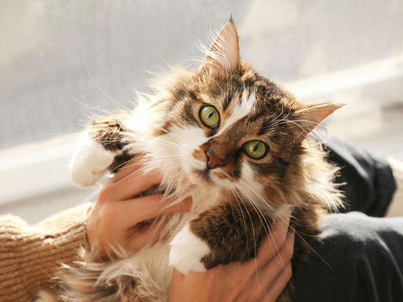 Portrait of beautiful and fluffy tri colored tabby cat at home, natural light.