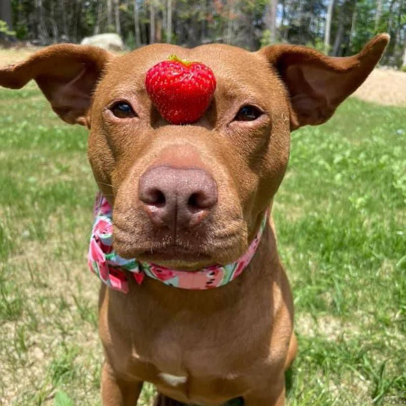 dog with strawberry on nose