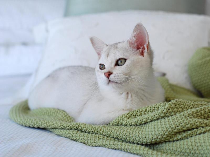 Burmilla Kitten on Bed