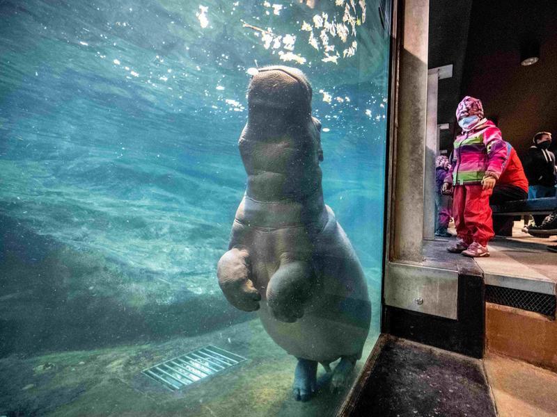 Hippopotamus at Prague Zoo