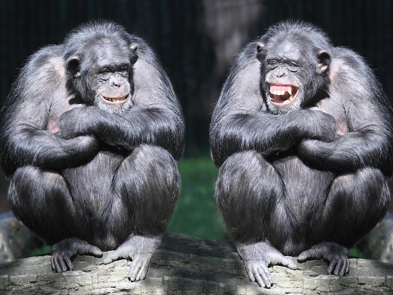 Chimps laughing