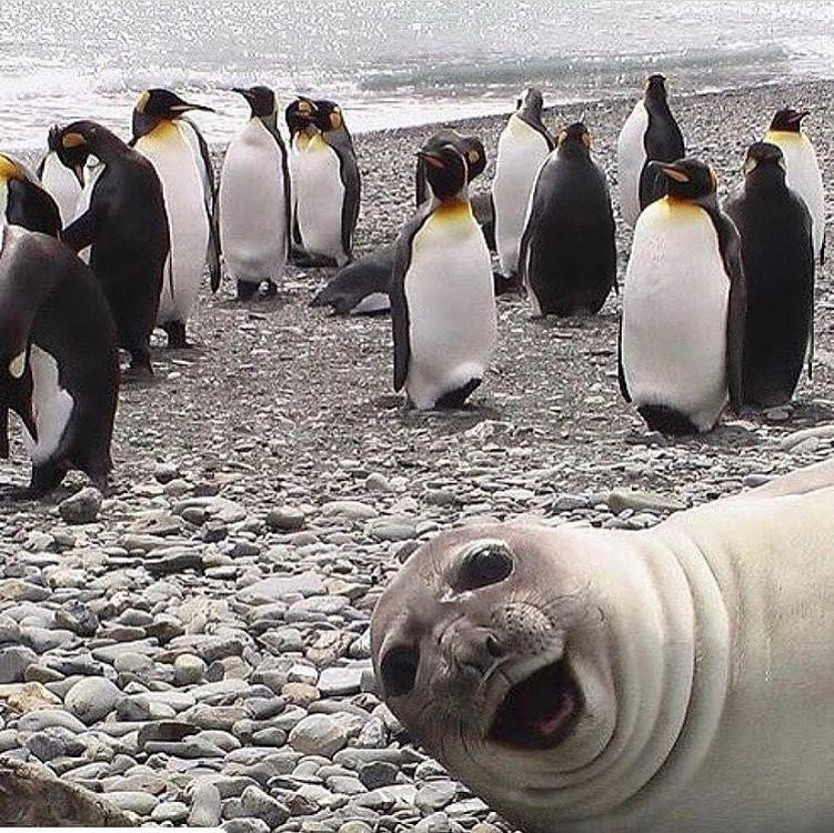 Seal photobombing penguins