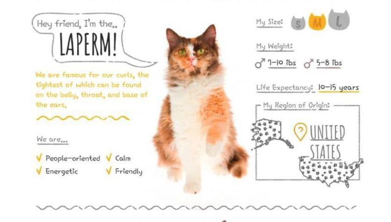 laperm hypoallergenic cat