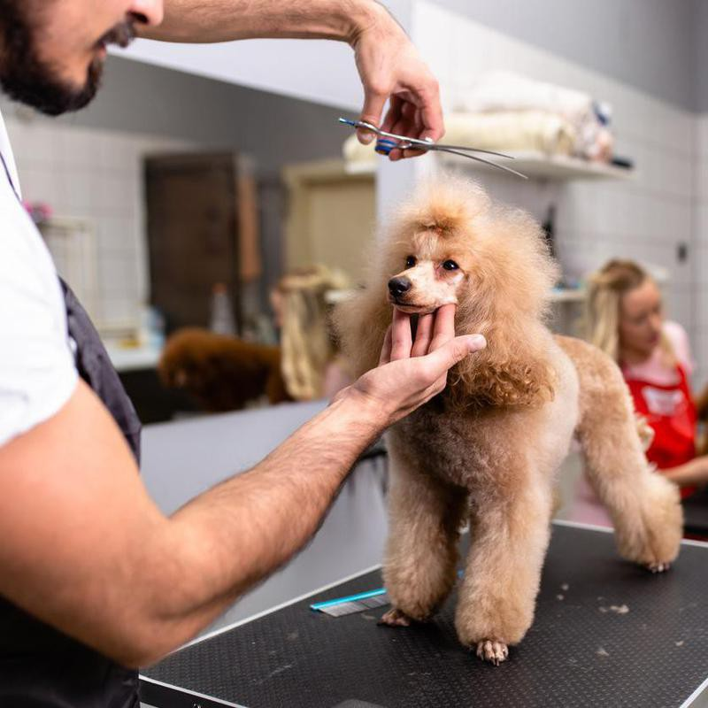Poodle at a grooming salon