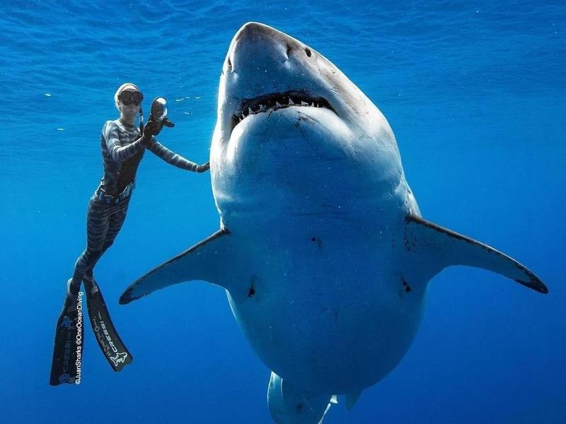 Largest great white shark known to exist, Deep Blue