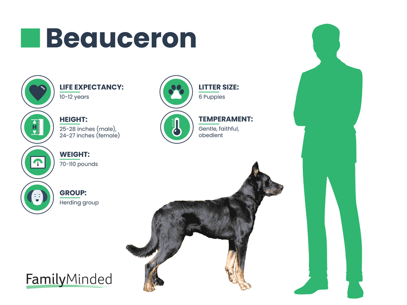Beauceron breed