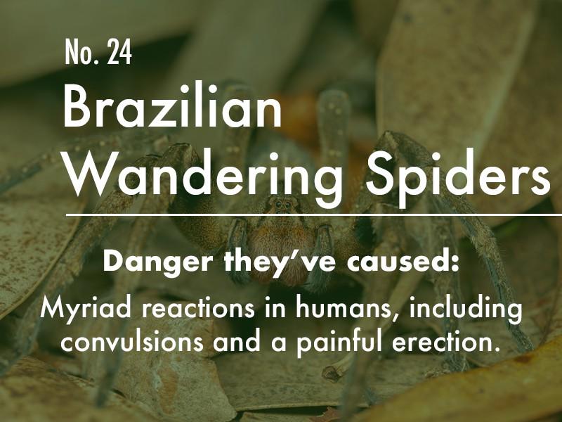 Brazilian Wandering Spider dangers