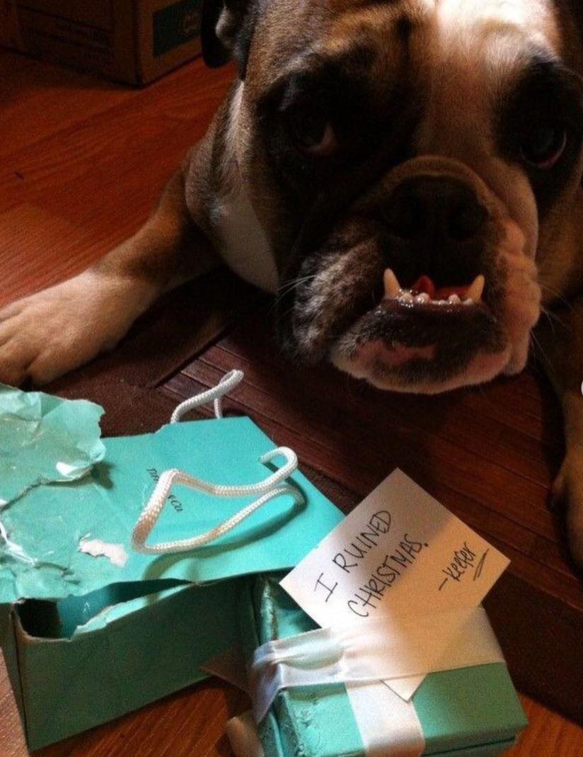Bulldog ate a Christmas present