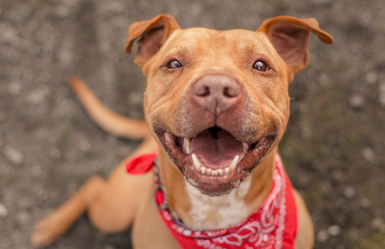 Bubba, a  pit bull dog at an animal shelter