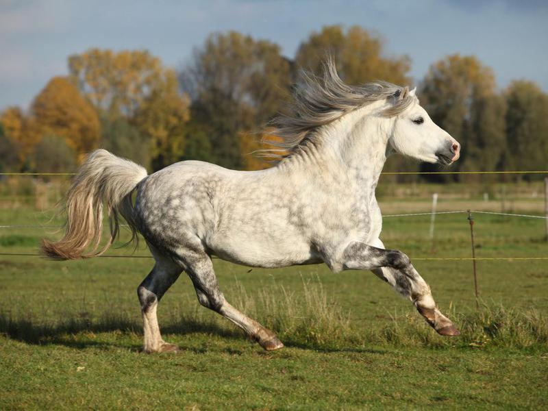 Grey welsh mountain pony stallion running