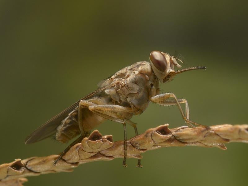 Tsetse flies