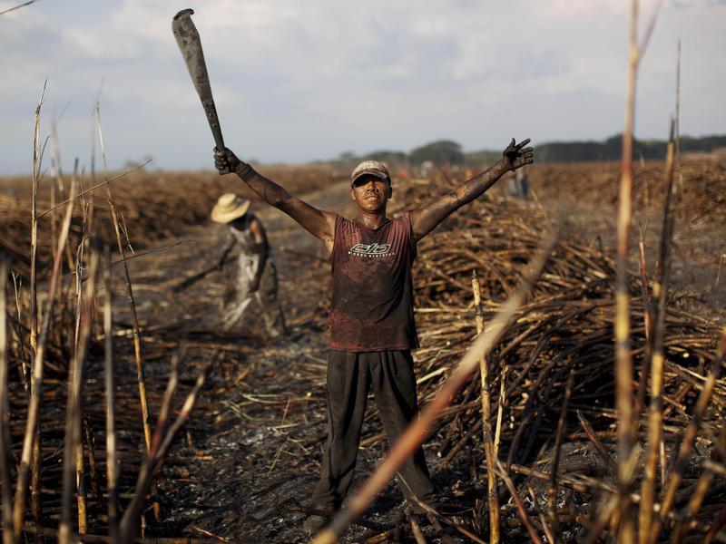 Sugarcane field in Guatemala
